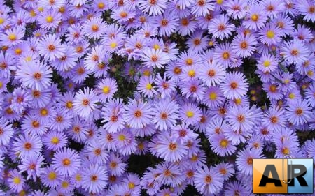Flowers WideScreen Wallpapers 12