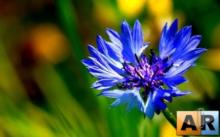 Flowers WideScreen Wallpapers 11
