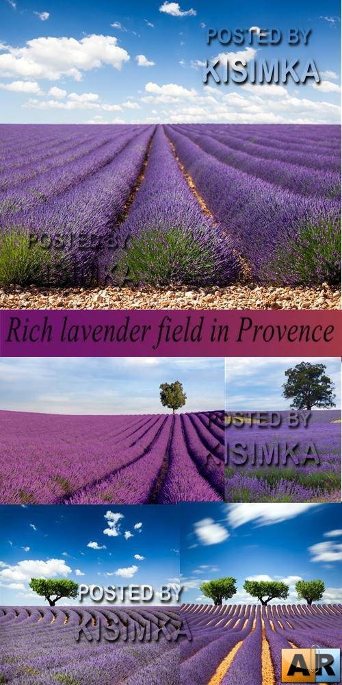 Stock Photo: Rich lavender field in Provence