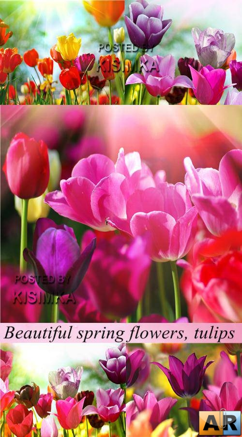 Stock Photo: Beautiful spring flowers, tulips