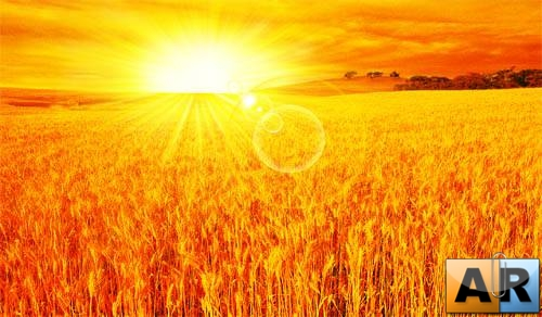 PSD - Gold Wheat Fields